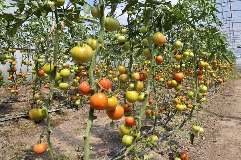 Gewächshäuser für das Wachsen von tomatoes_2 stockbild