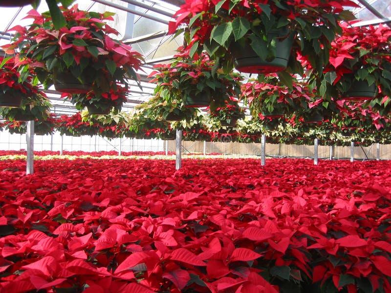 Gewächshaus des Poinsettia-Züchters lizenzfreies stockbild