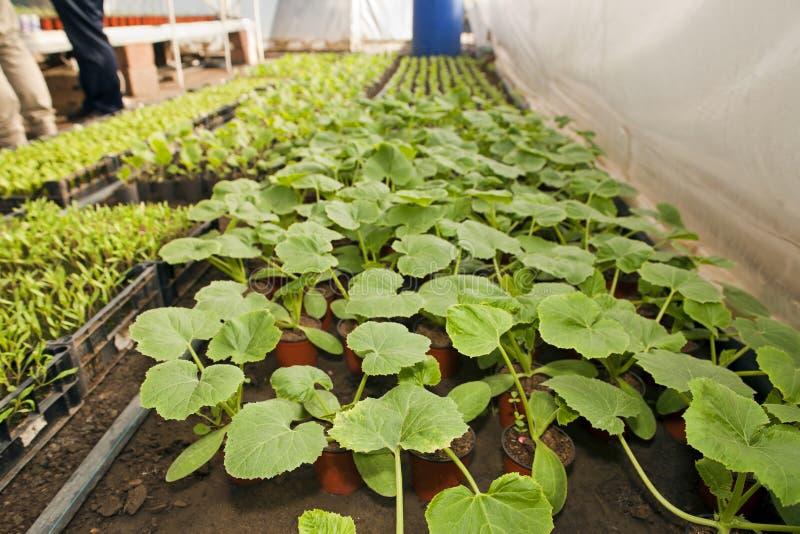Gewächshaus für Gemüse - Zucchini stockfoto