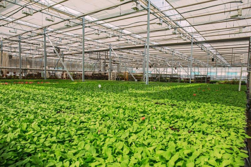 Gewächshaus für wachsende Blumen und Zierpflanzen innerhalb des Innenraums lizenzfreie stockbilder