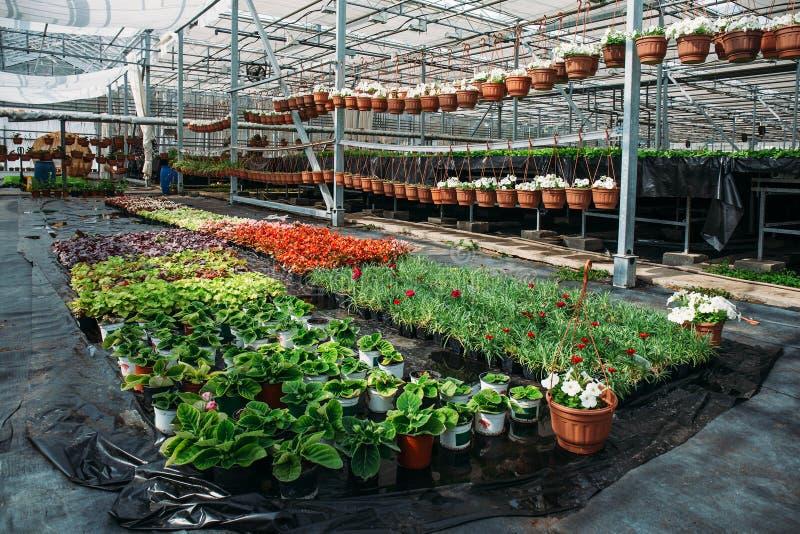 Gewächshaus für wachsende Blumen und Zierpflanzen innerhalb des Innenraums lizenzfreie stockfotografie