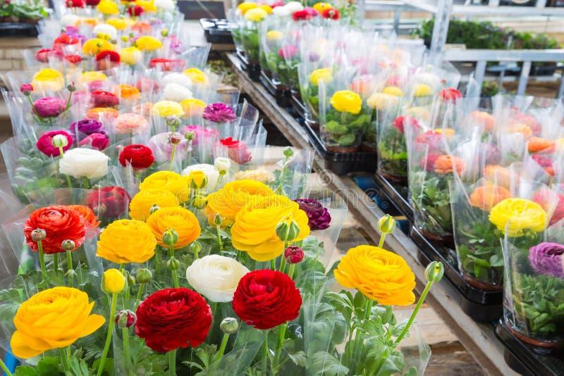 Gewächshaus mit bunten Blume Butterblumeen eingewickelt in der Plastikfolie stockfotografie