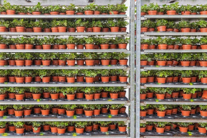 Gewächshaus mit Lagerung von Blumenbeetanlagen im Rackingsystem lizenzfreies stockfoto