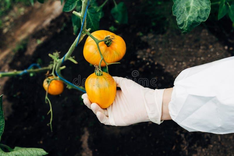 Gewächshausbiotechnologieingenieur überprüft Tomate für Krankheit lizenzfreie stockfotos