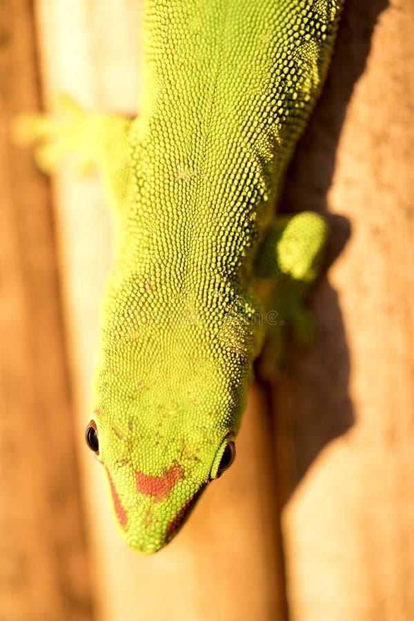 Gewöhnlicher Madagaskar-Taggecko, Phelsuma-madagascariensis tritt in den menschlichen Häusern, Madagaskar auf lizenzfreie stockfotos