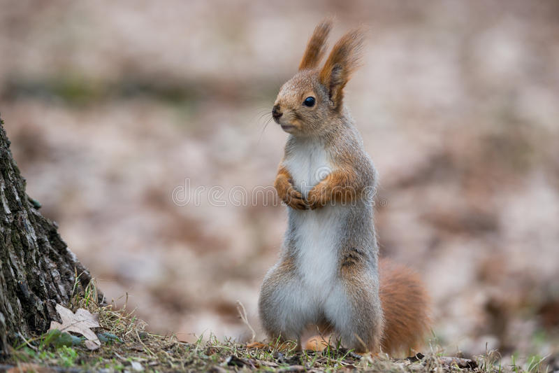 Gewöhnliches flaumiges Eichhörnchen Lustiger eurasischer Eichhörnchen Sciurus-gemeine Stände in Autumn Foliage Near ein Baum und  stockfotografie