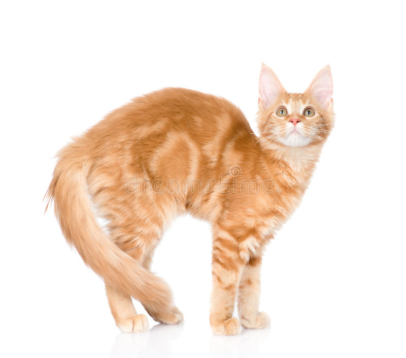 Gewölbte Katze, die in der Seitenansicht steht Getrennt auf weißem Hintergrund stockbild