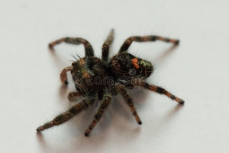 Gewaagd Jumper Spider View royalty-vrije stock foto's