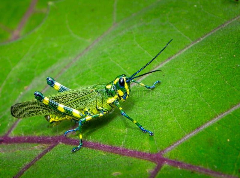 Gewaagde Blauwe Heldere & Gele Tropische Sprinkhaan stock fotografie