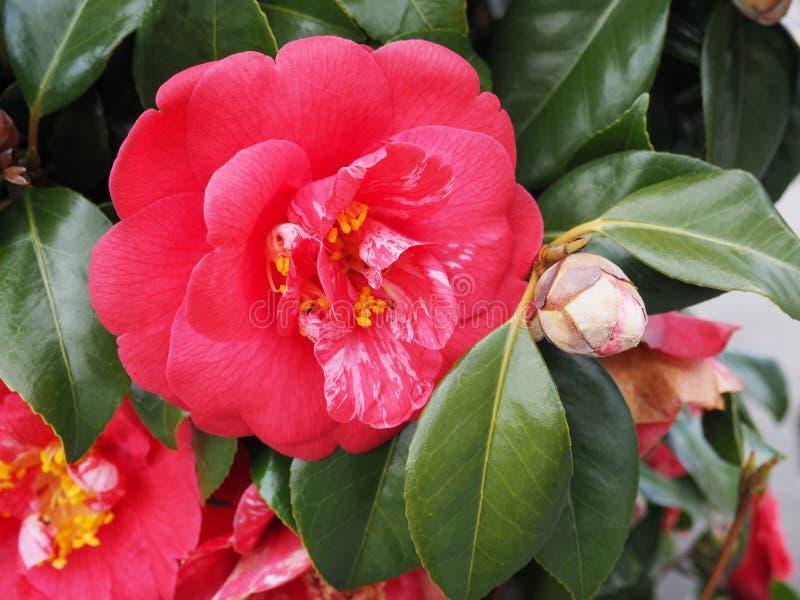 Gewaagde Roze Bloei tegen Donkergroene Bladeren stock foto's