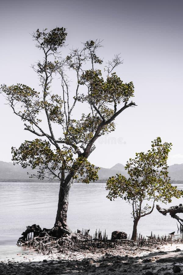 Gewachsener Mangrove Baum in Ufer Saranggani-Bucht Philippinen lizenzfreies stockbild