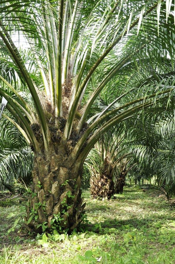 Gewas van het Landbouwbedrijf van de Dag van de palm het Openlucht royalty-vrije stock fotografie