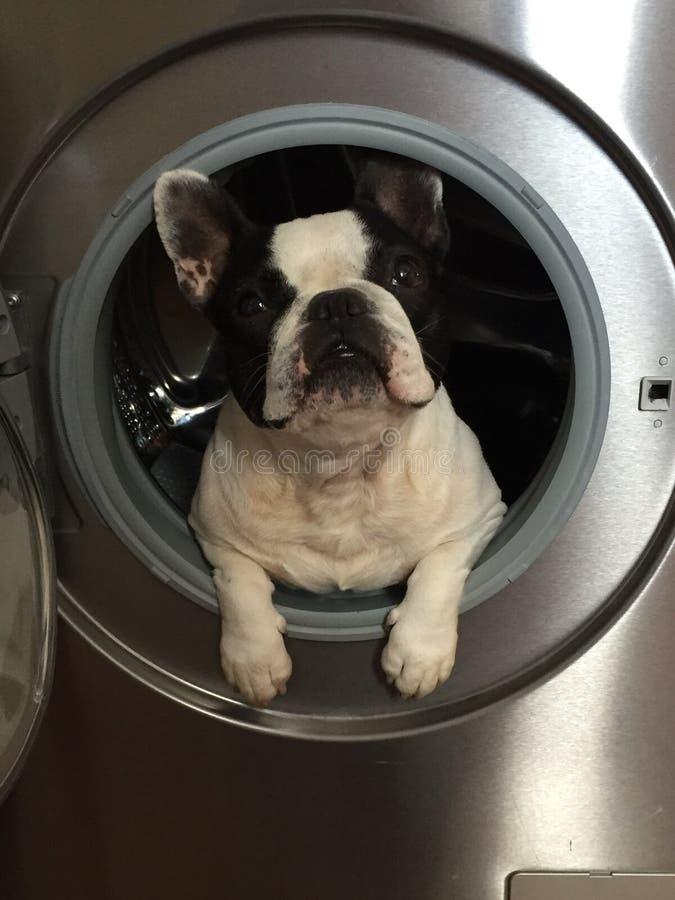 Gewassen hond stock foto's