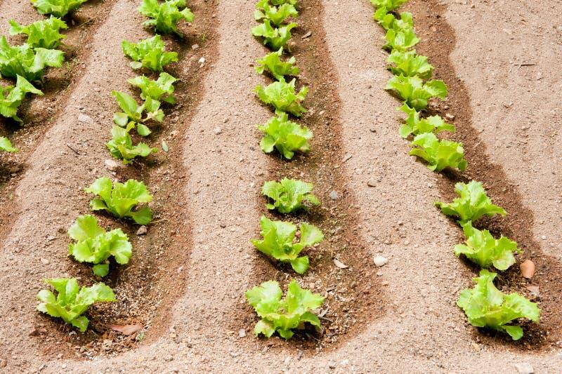 Gewassen van salade in de tuin royalty-vrije stock afbeelding