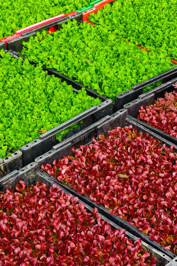 Gewassen verse salade in de dozen stock fotografie