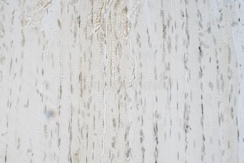 Gewebelehre des menschlichen Skelettmuskels unter Mikroskopansicht stock abbildung