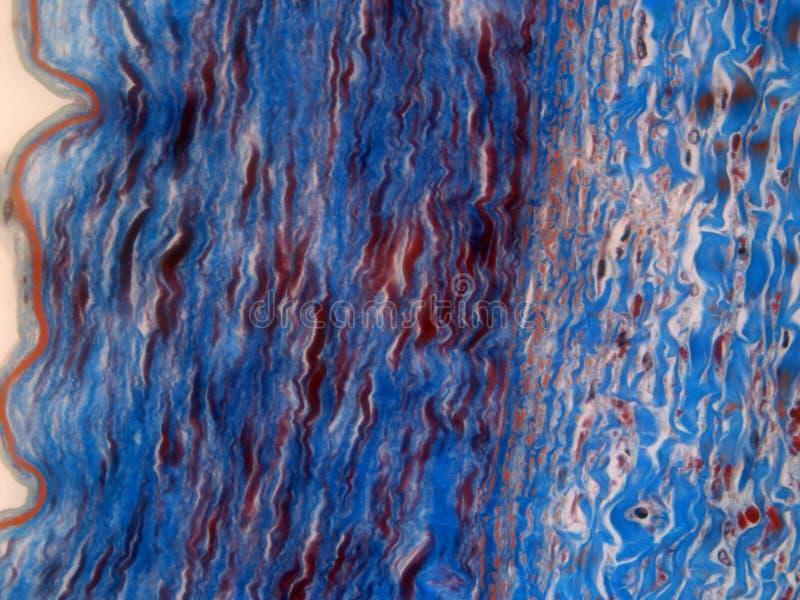 Gewebelehre einer Arterie lizenzfreie stockbilder