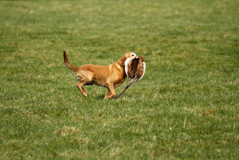 Gewehrhund holen zurück stockbild