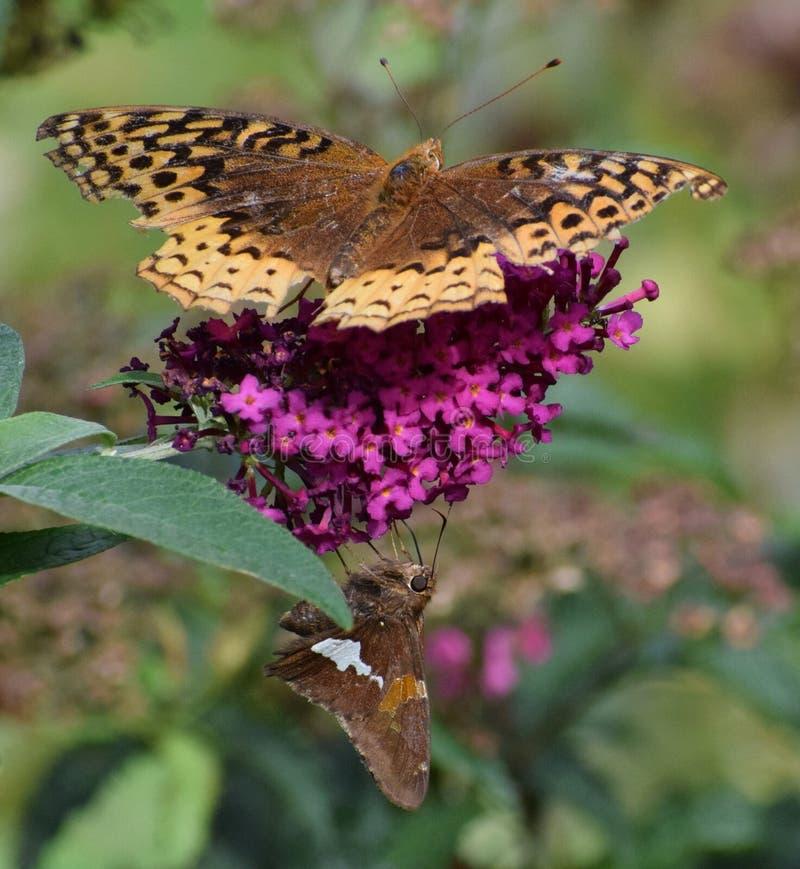 Geweldig gepantserde Fritillary en Silver Spotten Skipper op Butterfly Bush royalty-vrije stock fotografie