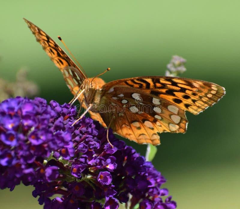 Geweldige vriend van Butterfly Bush royalty-vrije stock afbeelding