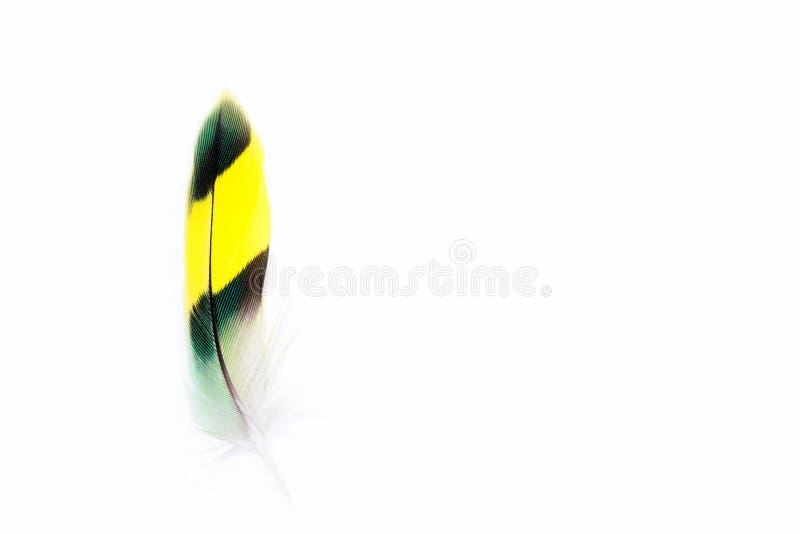 Gewellte Papageienfeder auf weißem Hintergrund Grüne Feder des Wellensittichs Copyspace stockbilder
