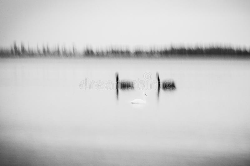 Geweven beeld van drie zwanen in motieonduidelijk beeld stock foto's