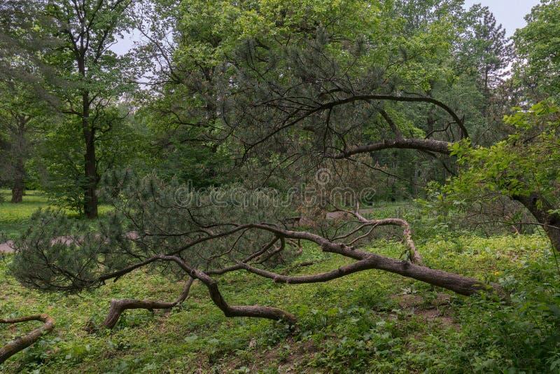 Geweven bergpijnbomen die, ingewikkeld op een kleine heuvel groeien Landschapssamenstelling in de Botanische tuin van het stadspa royalty-vrije stock foto's