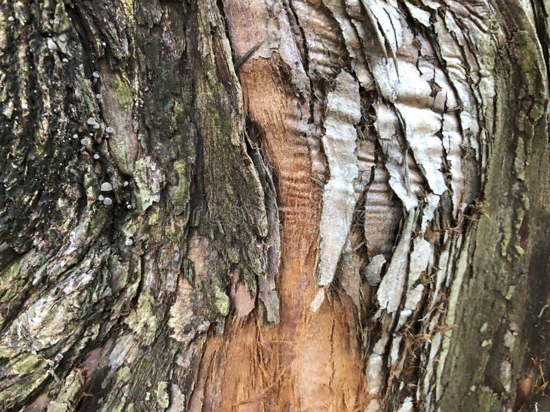 geweven schors van een Dawn Redwood-boom stock fotografie