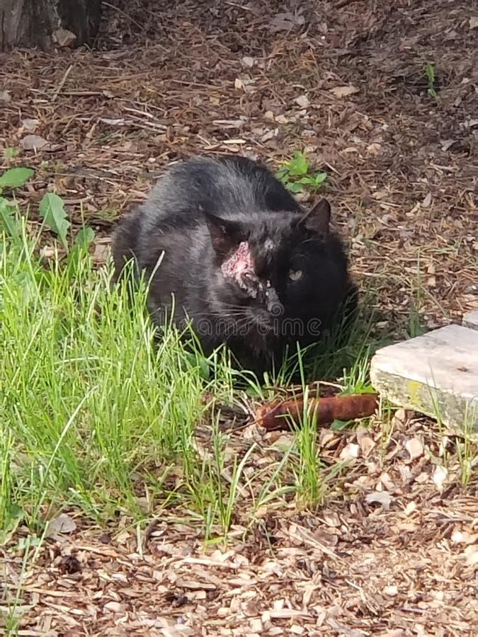 Gewonde kat die voedsel eten stock afbeelding