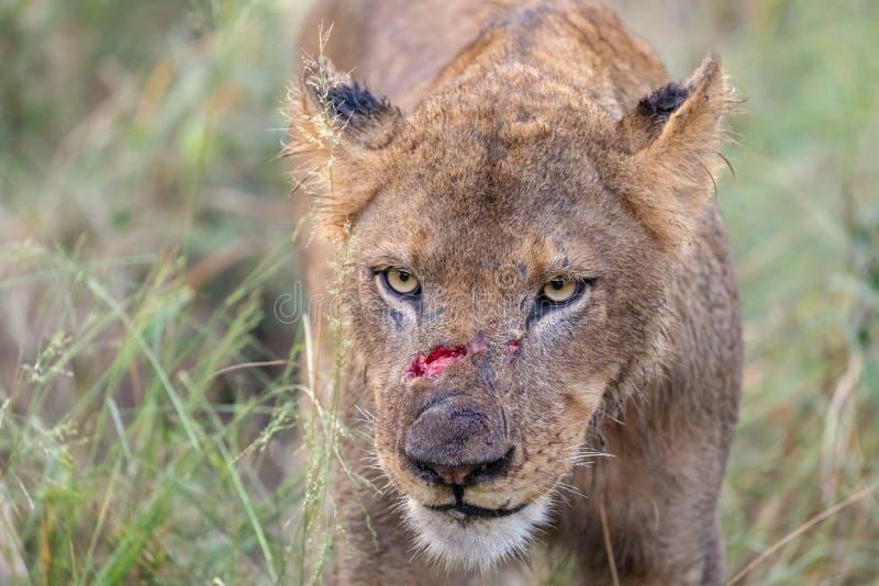 Gewonde Leeuw met verse besnoeiingen van strijd stock fotografie
