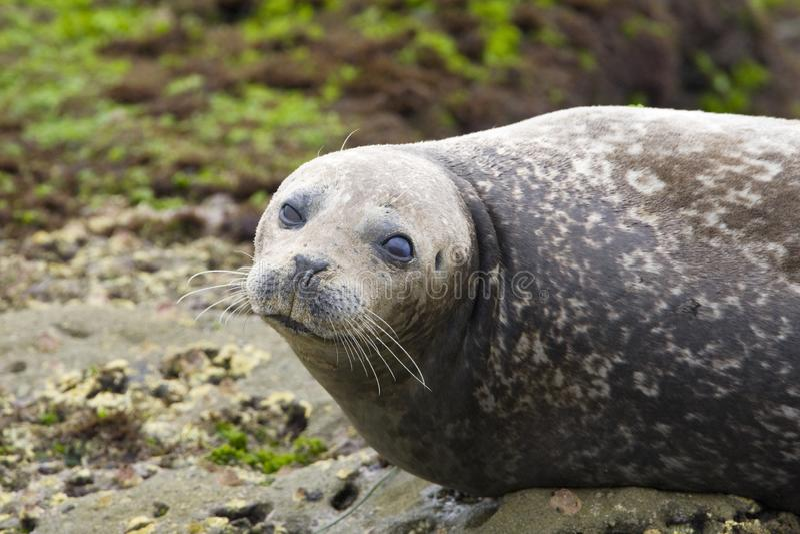 Gewone Zeehond, Harbor Seal, Phoca vitulina richardsi. Gewone Zeehond (ondersoort richardsi) op het strand in La Jolla California, Harbor Seal (subspecies royalty free stock photo
