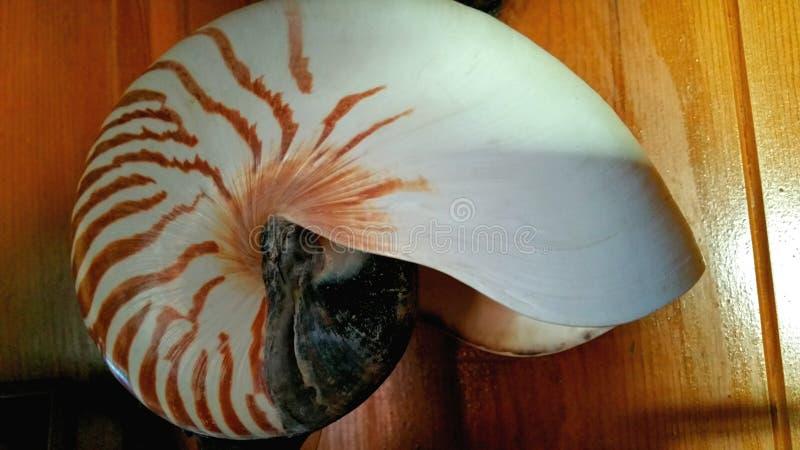Gewundener Tiger Striped Large Seashell lizenzfreie stockbilder