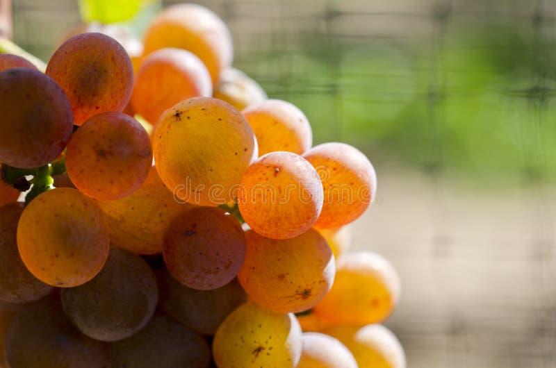 Gewurtztraminer weiße Weintrauben auf der Rebe #6 stockbild