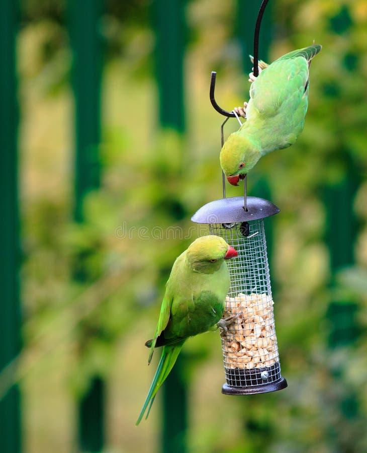 Gezänk mit zwei Sittichen des Ringes necked über Nüssen in einer Vogelzufuhr lizenzfreie stockfotos