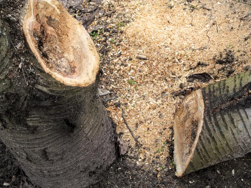 Gezaagd van stuk van logboek ligt op de grond onder het zaagsel dichtbij de boomstam van de kersenboom Het concept van het kettin royalty-vrije stock afbeelding