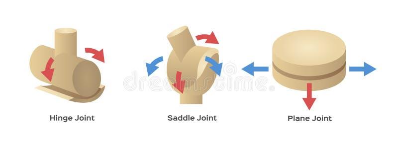 Gezamenlijk menselijk beentype vector illustratie