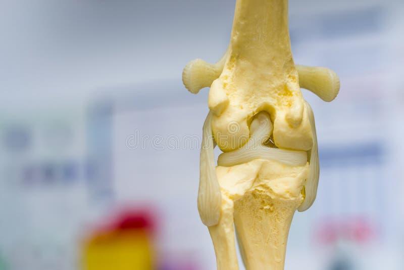 Gezamenlijke de vorm achtermening van de hondknie, meniscus en kruisvormig ligament royalty-vrije stock afbeelding