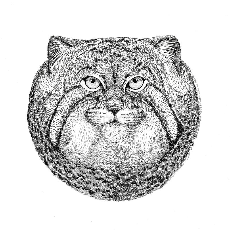 Gezeichnete Illustration Wildkatze Manul Hand für Tätowierung, Emblem, Ausweis, Logo, Flecken vektor abbildung