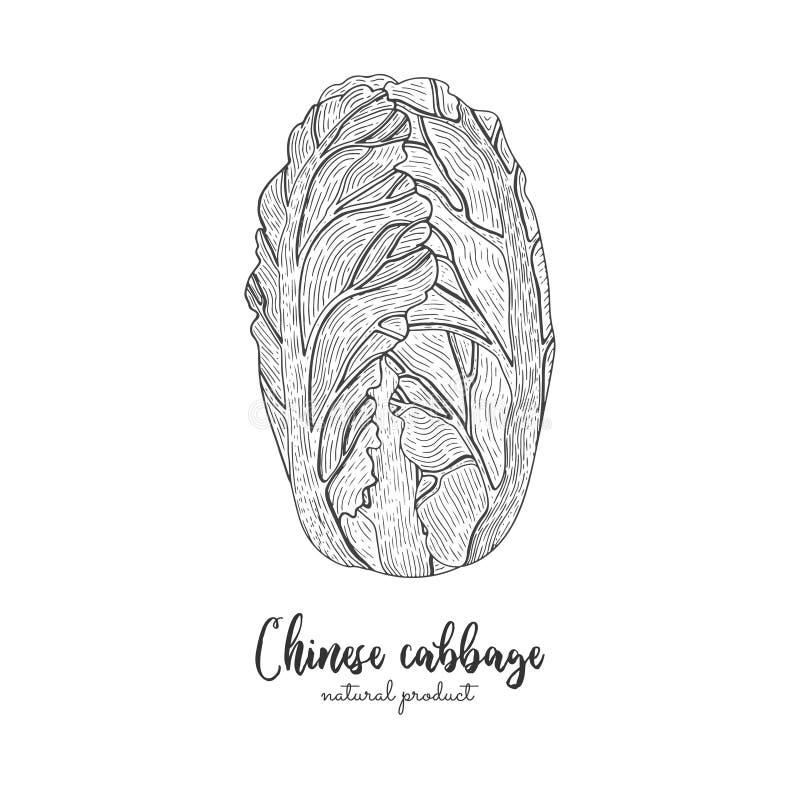 Gezeichnete Vektorillustration des Chinakohls Hand Lokalisierter Gemüse gravierter Artgegenstand Ausführliches vegetarisches Lebe lizenzfreie abbildung