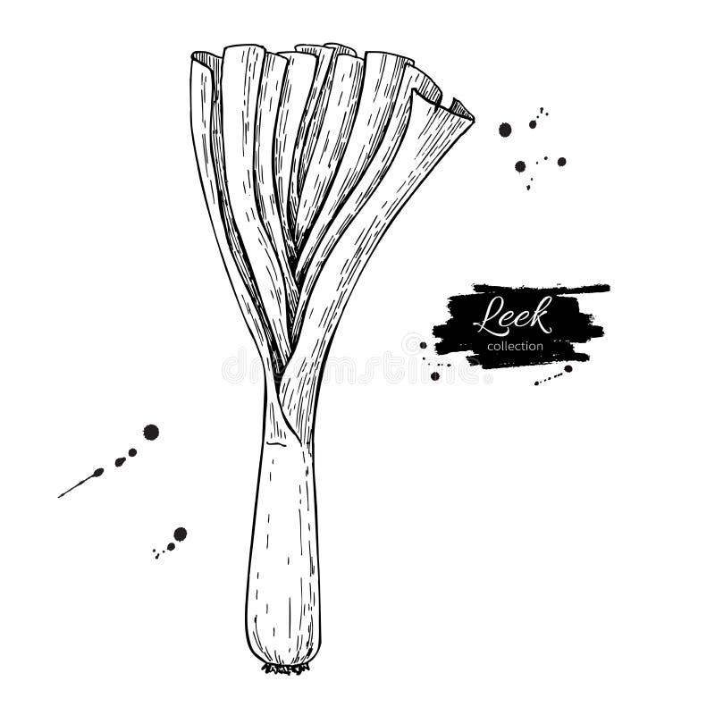 Gezeichnete Vektorillustration des Porrees Hand Lokalisiertes Gemüse gravierte Artgegenstand mit geschnittenen Stücken vektor abbildung