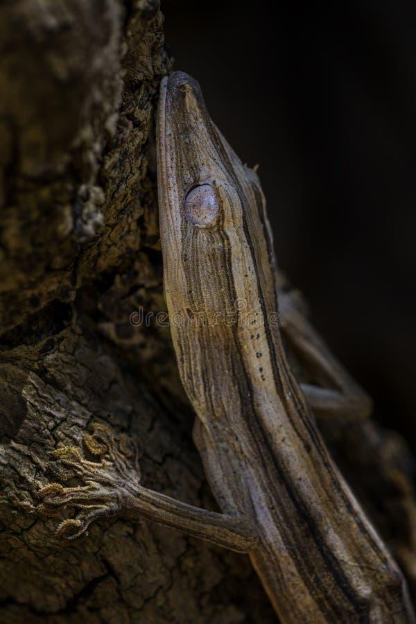Gezeichneter Blatt-Endstück Gecko - Uroplatus-lineatus lizenzfreies stockbild