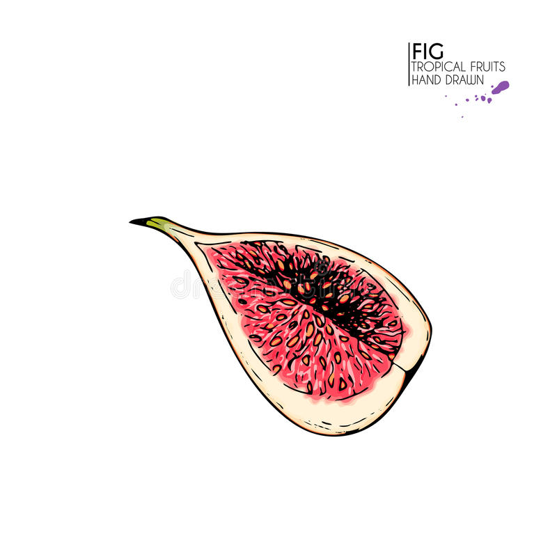 Gezeichneter Satz Des Vektors Hand Exotische Früchte Ioslated-Feige ...
