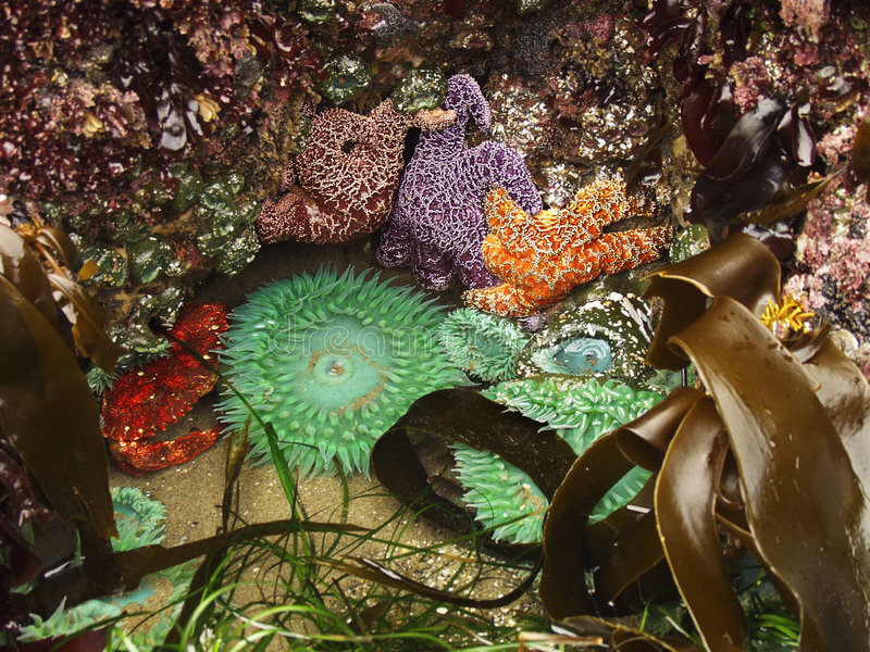 Download Gezeiten-Pool-Oekosystem stockbild. Bild von kelp, anemone - 28139