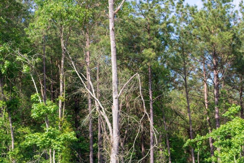Gezerbrochene Baumglippen hängen gefährlich nach Sturm stockfotos