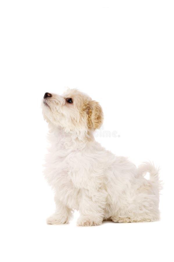 Gezeten die puppy op een witte achtergrond wordt geïsoleerdd stock foto