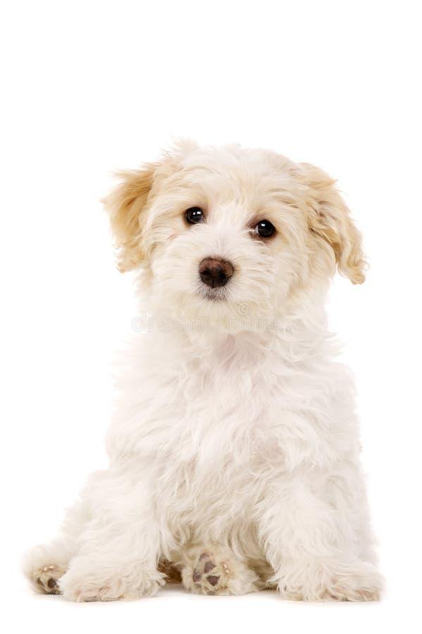 Gezeten die puppy op een witte achtergrond wordt geïsoleerde royalty-vrije stock foto