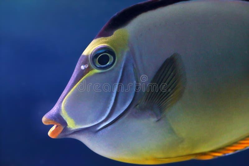 Gezicht van een elegante unicornfish royalty-vrije stock fotografie