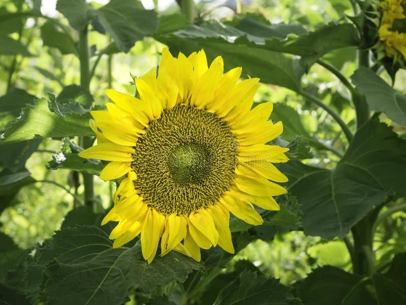 Gezicht van een grote gele zonnebloem in een de herfsttuin royalty-vrije stock afbeeldingen