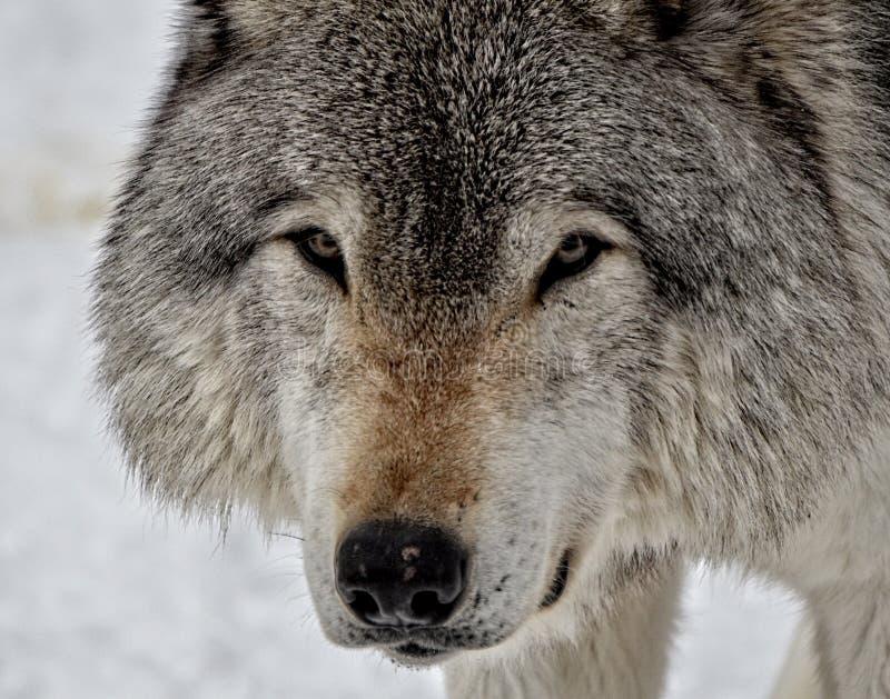 Gezicht van een Houtwolf stock foto