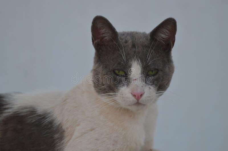 Gezicht van Feral Cat Relaxing In The Shade - Nea Ionia, Athene Griekenland royalty-vrije stock foto's